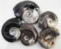 320CTS 5 X MOROCAN AMMONITE (Goniatities)   GG1984