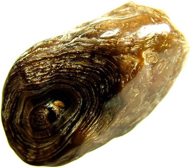 FOSSIL OF A WALRUS TOOTH 43.65 CTS [MX 6698]